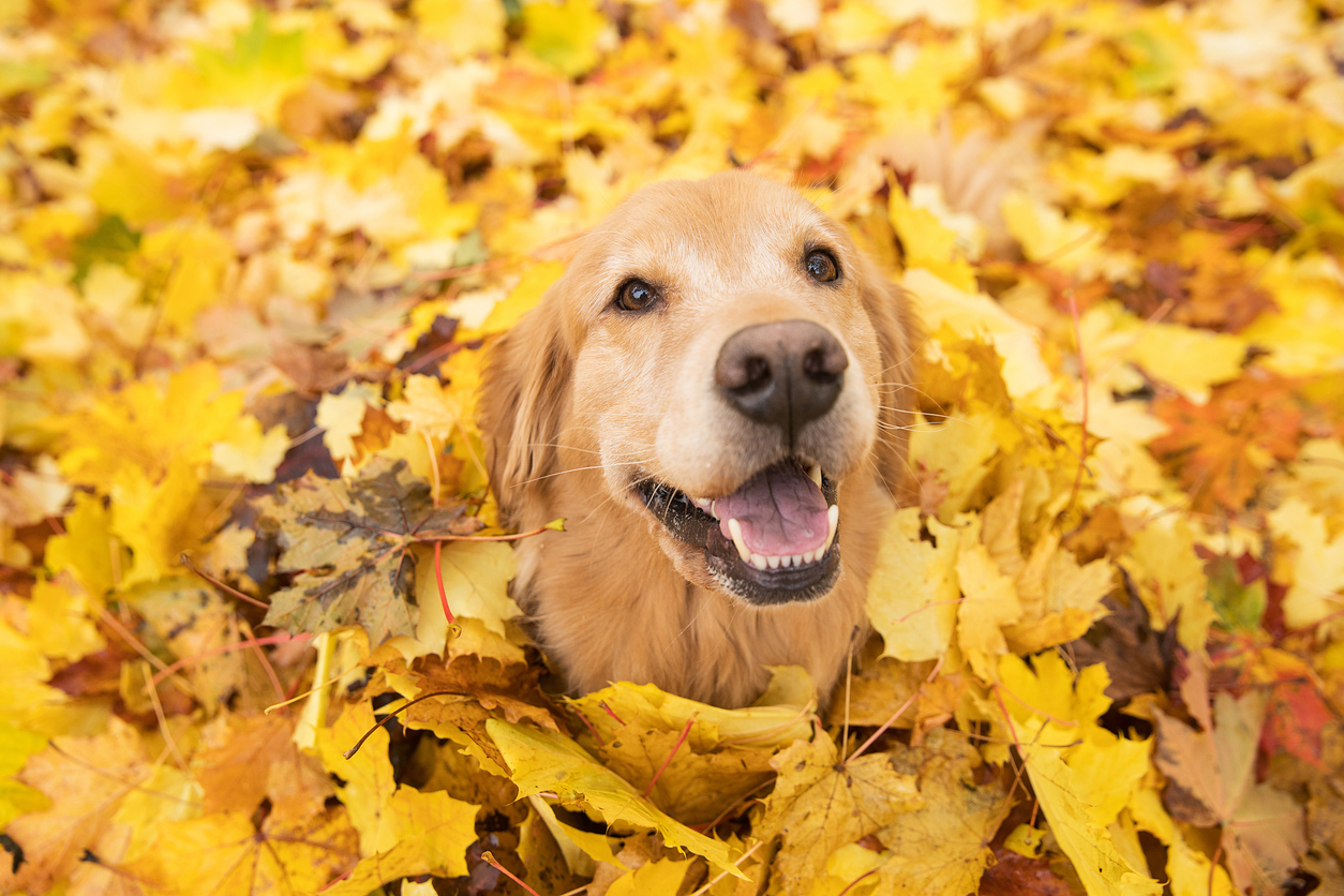A Golden Retriever smiles up from an equally golden pile of leaves. Only the dog's face is visible in the pile.