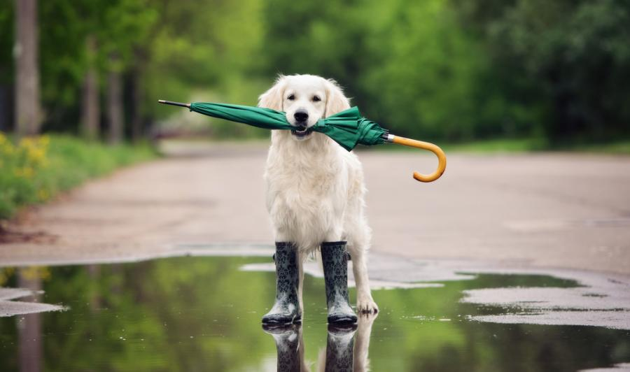 A Golden Retriever holds a green umbrella in his mouth. He is wearing rain boots and standing in a puddle on a country road.