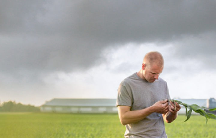 A farmer examines a corn stalk in his field as a severe thunderstorm approaches in the sky behind him.