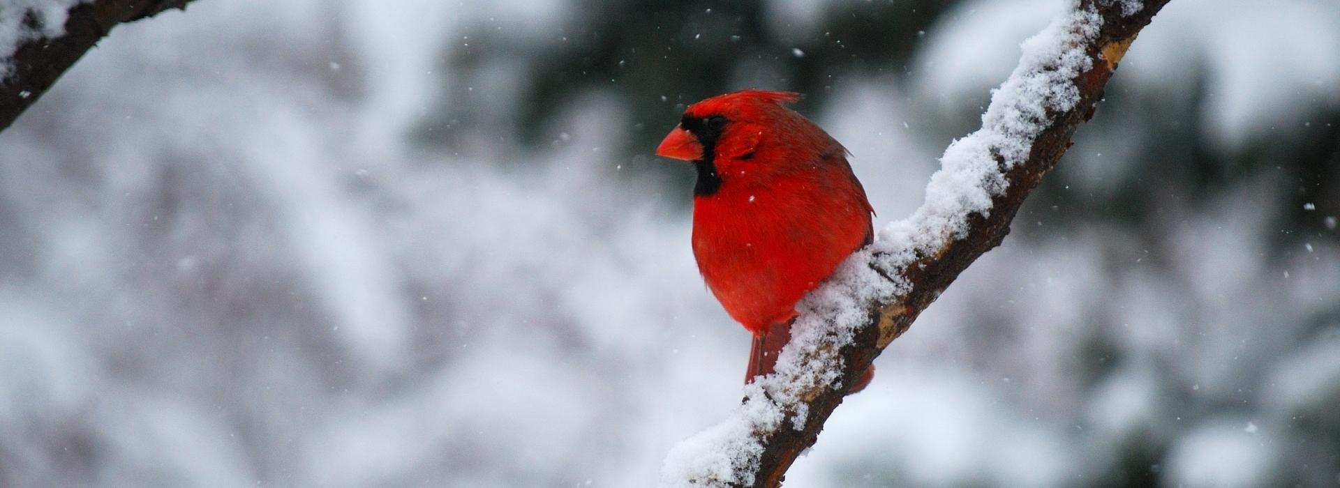 A cardinal rests on a tree branch in this winter scene - red feathers standing out vibrantly from the winter snow.